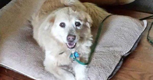 Adopt Maggie On Dogs Golden Retriever Rescue Golden Retriever Mix