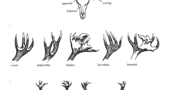 scientific illustration    deer antlers