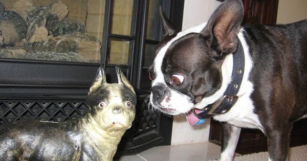 Boston Terrier lol....lol