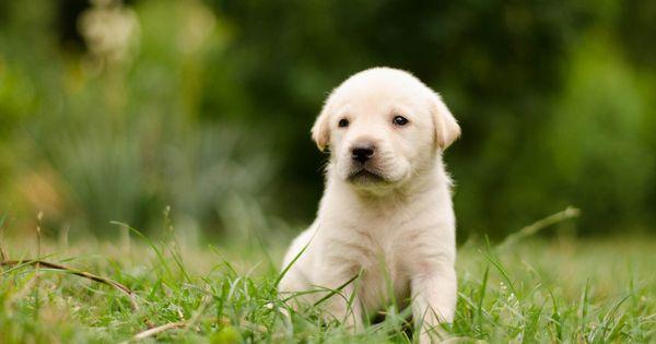 Puppy By Lara Winter On 500px Labrador Retriever Dogs