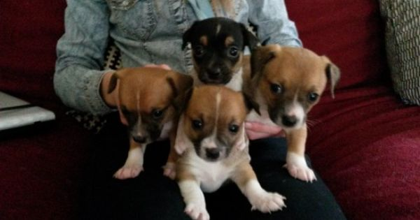 Sold To The Lovely Tallulah Puppy Puppies Dogs Jack Russell Dogs