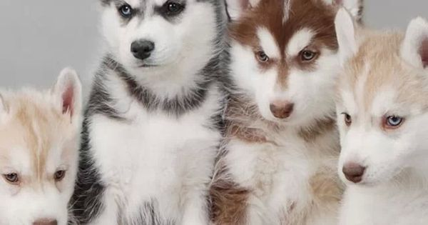 Multi-color huskies. If you want to see the full image, it is