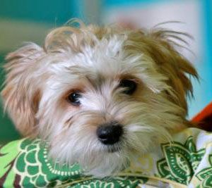 Is A Maltese Yorkie Mix The Right Dog For You Maltese Yorkie