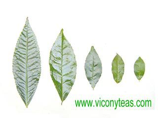 Size Of Camellia Leaves Plant Tattoo Tea Plant Camellia