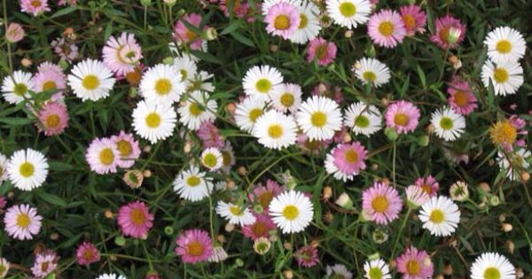 Erigeron K Profusion Tiny Daisy Like Flowers Good Edging Plant Self Seeds Into Other Plants Beautifully Edging Plants Moon Garden Rose Like Flowers