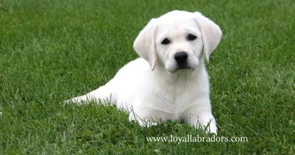 White English Labrador Puppies For Sale Available Lab Puppy Labrador Retriever Puppies Labrador Puppy White Labrador Puppy
