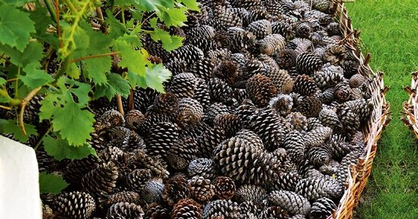 Pine cones as mulch, keep dogs out of the flower beds -