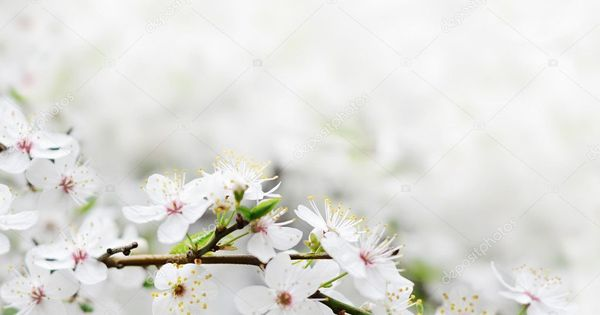 White Spring Flowers On A Tree Branch Stock Photo Affiliate Flowers Spring White Tree Ad Spring Flowers Flower Images Tree Branches