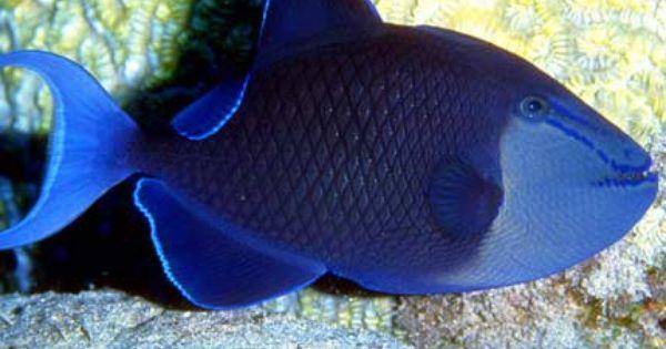 Niger Triggerfish Odonus Niger Sea Life Animals Pet Fish Marine Fish