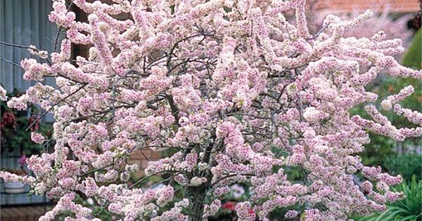 Prunus Elvins Flowering Plum I N 3721678 Bunnings Warehouse Flowering Cherry Tree Plants Ornamental Pear Tree