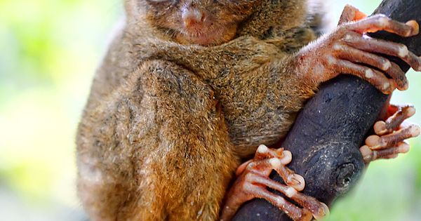 tarsier dentatus relationship to other families friends