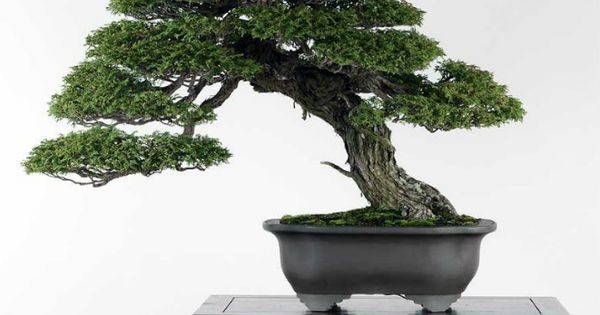 Bonsai bonsai pinterest pflanzen for Bonsai hydrokultur