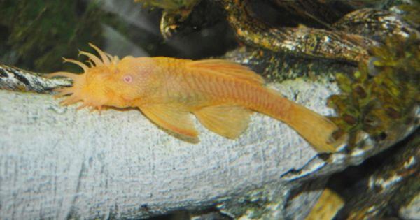 Albino Bristlenose Pleco Pleco Fish Tropical Fish Albino