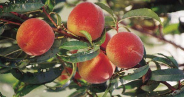 Golden Jubilee Peach Tree Mini Orchard Pinterest