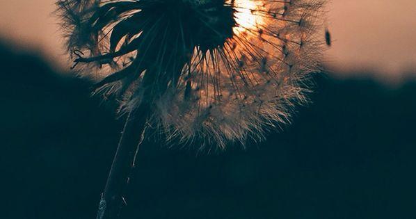 Dandelion Wallpaper Dandelion Falling Apart Widescreen
