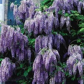 Chinese Species Blue Wisteria Vine Tree Fragrant Flowering 2pk By Growers Solution Grower S Solution Http Www Amazon C Chinese Wisteria Wisteria Plant Plants