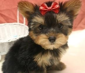 Puppy Petite Puppies For Sale Yorkie Puppies For Sale Yorkshire Terrier Puppies