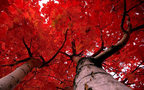 Crimson ant's eye view of a tree trunk and leaves in Canada
