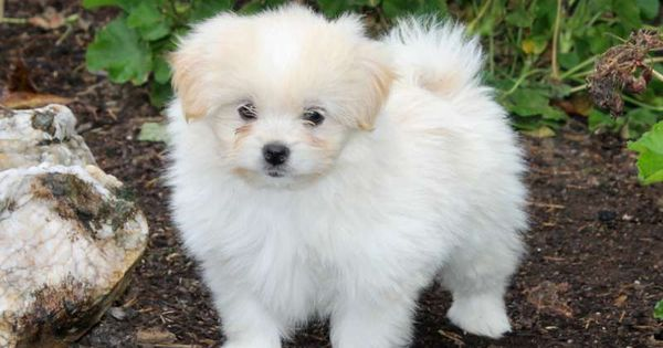 Kevin, Pomapoo puppy for sale from Delta, PA puppies