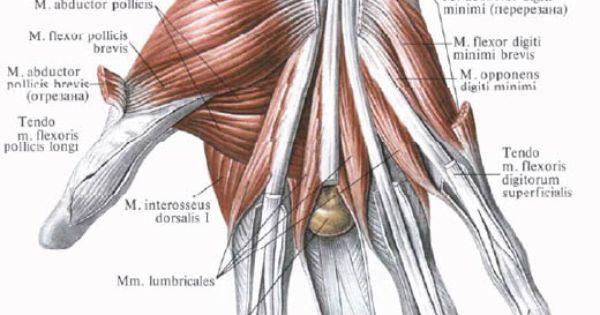 phalanx anatomy - Google 검색 | anatomy references - arm ...