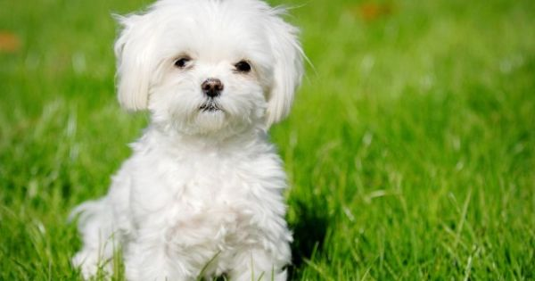 16 Of The Greatest Toy Dog Breeds - Answers.com