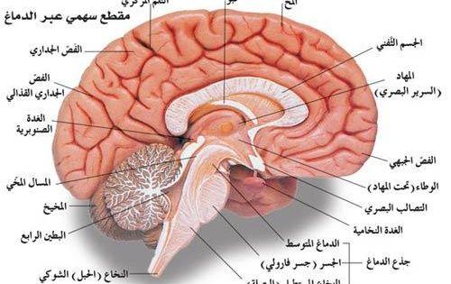 المخ يختزن العقل البشري نتائج وخبرات سنوات من أعمار البشر وهناك فرق بين العقل والمخ تطلق كلمة مخ عادة Human Body Anatomy Cradle Of Civilization Body Anatomy