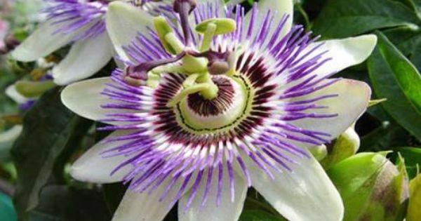 Plant Lovin Passionfruit Passion Fruit Flower Passion Vine Passion Flower