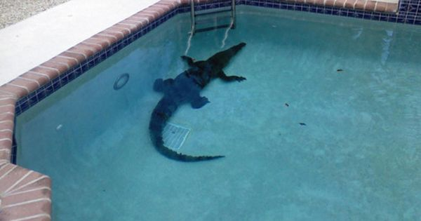 Alligators Florida Fun Make Sure And Check The Pool Before You Jump In I Wonder If He Needs A