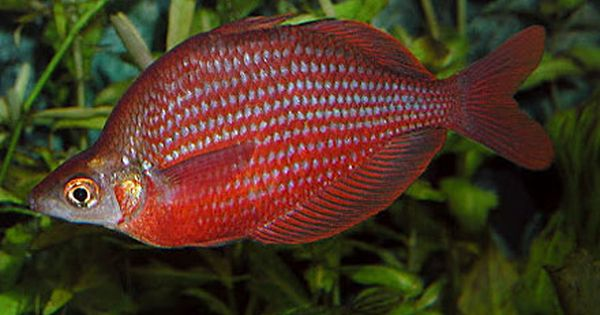 Dority 39 s rainbowfish zig zag rainbowfish zigzag for Tropical rainbow fish