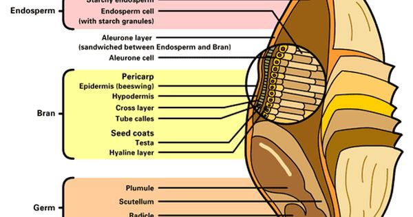 Diagram Of Wheat Seed  With Explanation Of The Parts And