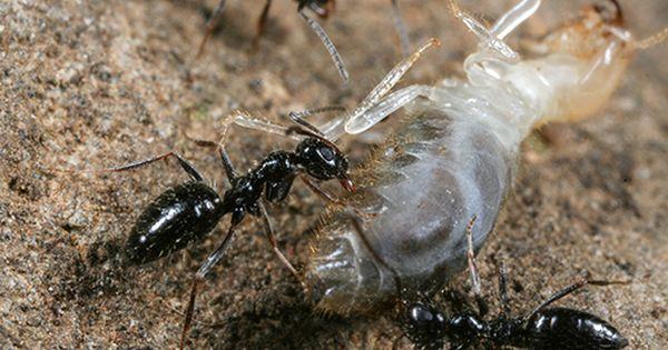 New Ameisen der Gattung Lepisiota sind ber chtigt Denn einige Arten dieser Gattung machten erst vor Kurzem Schlagzeilen als erfolgreiche und kaum zu b u
