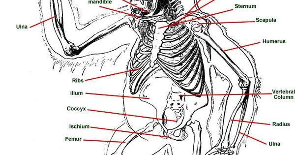 Diagram of Gorilla Anatomy | Gorilla Char | Pinterest ...