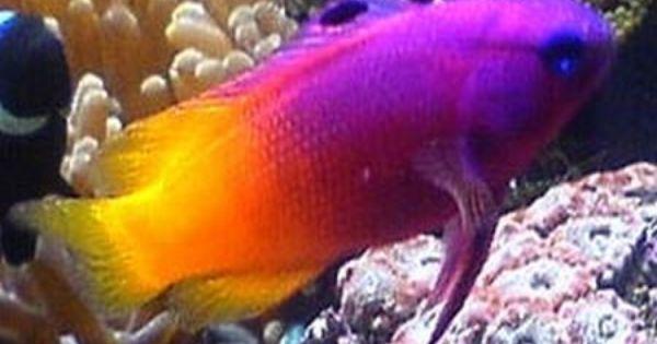 The Marine Compatibility Guide Marine Aquarium Fish Saltwater Fish Tanks Reef Safe Fish