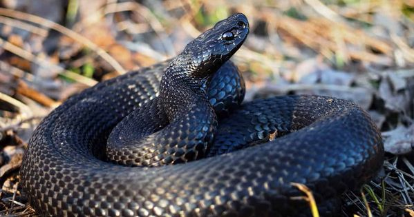 These 5 Snakes Look Similar To Copperheads Embora Pets Snake Pets Baby Snakes