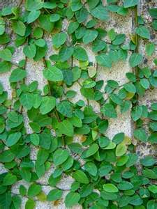 Creeping Fig Great To Cover Cement Block Walls And Make Them Look Like Hedges Gardening Living Creeping Fig Ficus Pumila Garden Wall