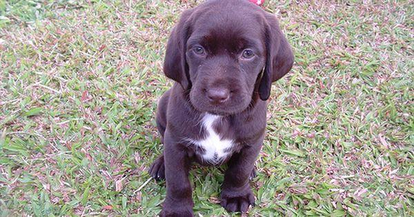 Ella The Labradinger 6 Weeks Labrador Cute Baby Puppies Labrador Retriever