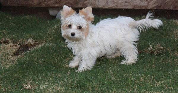 Nothing Found For Yorkshire Terrier Puppies For Sale Biewer Yorkie Gold Dust Biewer Yorkie Yorkshire Terrier Puppies Yorkie