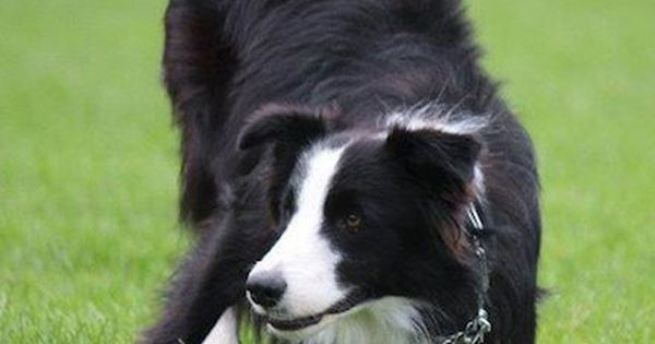 This looks like a genuinely awesome itemBorder Collie