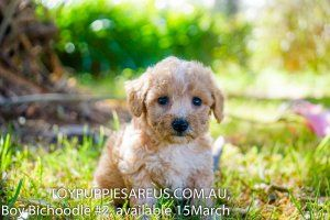 Puppies For Sale At Toy Puppies Are Us New South Wales Nsw Beaglier Bichoodle Cavoodle Cockerlier Labradoodle Moodle Labrador Puppy Spoodle Schnoodle