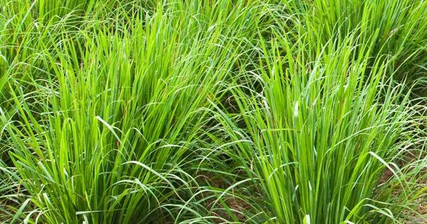 Snake repelling plants we can plant some of these plants for Best plants to keep mosquitoes away