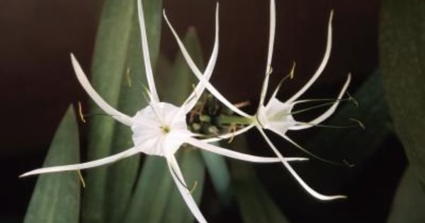 Spider lily disease gardening pinterest planting for How to keep spiders away from your bed