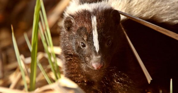 how to get rid of skunks under your home