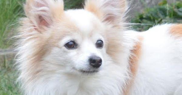Meet Foxy A Petfinder Adoptable Papillon Dog Coquitlam Bc