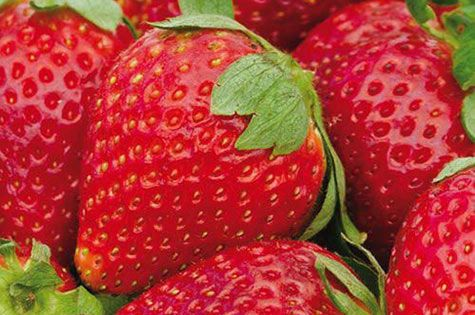 Albion Strawberry Plants Produce Symmetrical Large Berries With Intense Red Color Inside And Out Albion Strawberry Plants Everbearing Strawberries Strawberry
