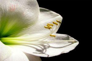 Amaryllis Flower Amaryllis Flowers Amaryllis Flowers