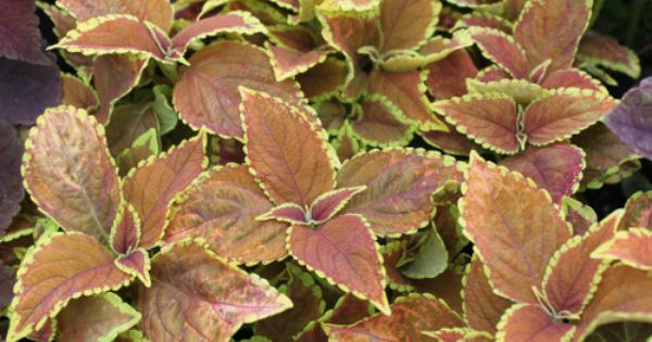 Coleus Rustic Orange Plant Leaves Greenhouse Gardening Florist