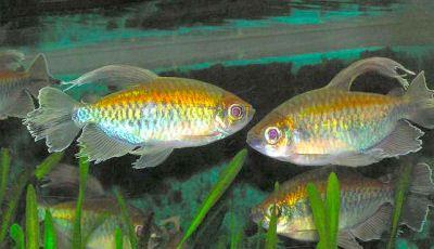 Congo Tetra Phenacogrammus Interruptus Fish Tank Tetra Tropical Fish