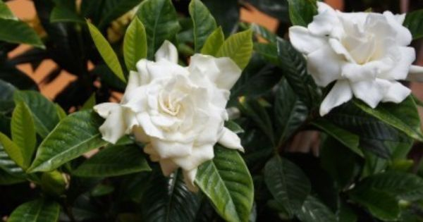 Gardenia Care To Get A Gardenia Bush To Bloom Gardenia Care Gardenia Bush Plants