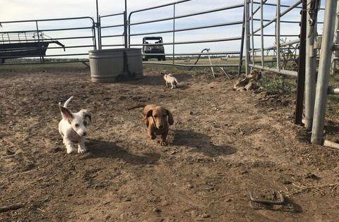 Miniature Dachshund Puppies Akc Tx I Muddy River Dachshunds Dachshund Puppy Miniature Dachshund Puppies Dachshund Breed
