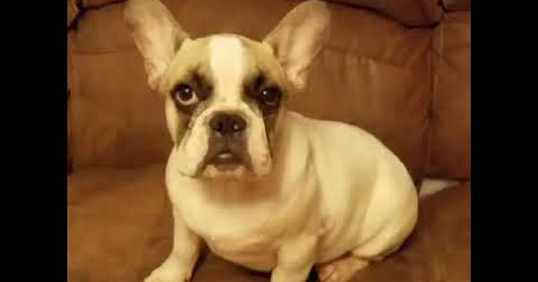 Rico French Bulldog Puppy For Sale Near Houston Texas 22c8b03d